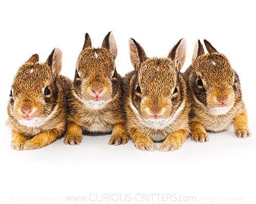 CURIOUS_CRITTERS_Eastern_Cottontail_David_FitzSimmons