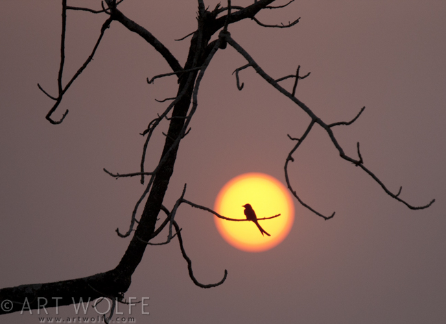 A black drongo silhouetted in the setting sun, Nepal