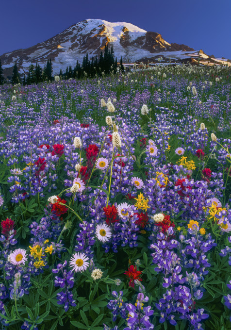 Colorful wildlfowers blanket a meadow in front of Mount Rainier with blue skies above.